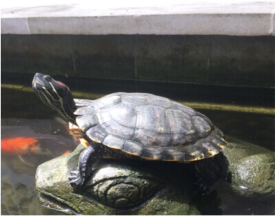 The Turtle of Long Life